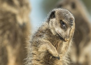 Un suricata fotografato a Little Karoo, in Sudafrica. (Brigitta Moser / www.typoty.com)